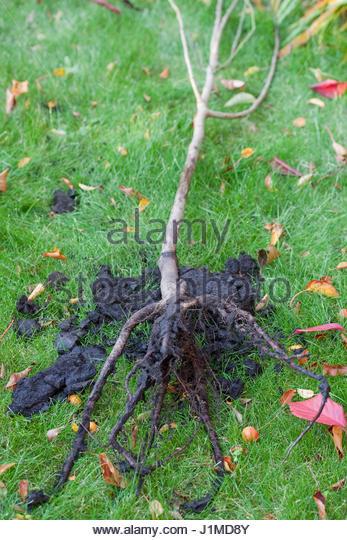 prunus domestica czar plumbare root fruit trees stock image