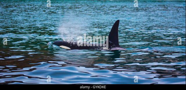 schwertwal killerwal orca orcinus orca ausatmender bulle schwimmt in ufernaehe - Ausatmen Fans Usa