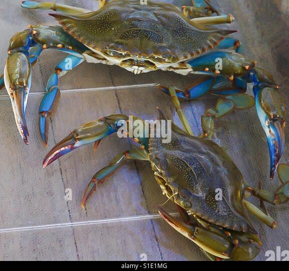 Blue Crabs Myrtle Beach South Carolina