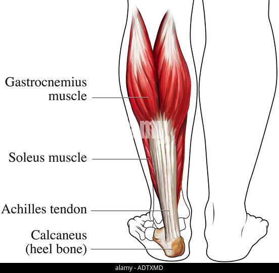 Achilles tendon anatomy