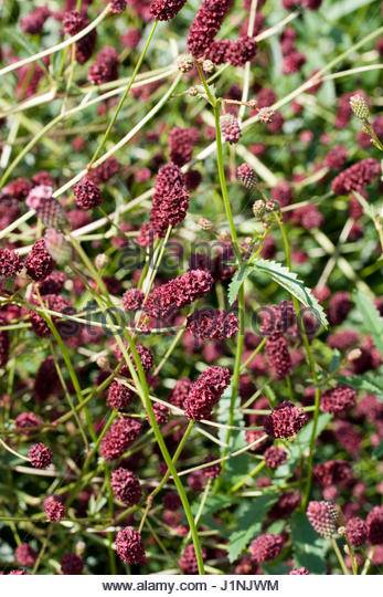 Sanguisorba officinalis stock photos sanguisorba for Sanguisorba officinalis red thunder