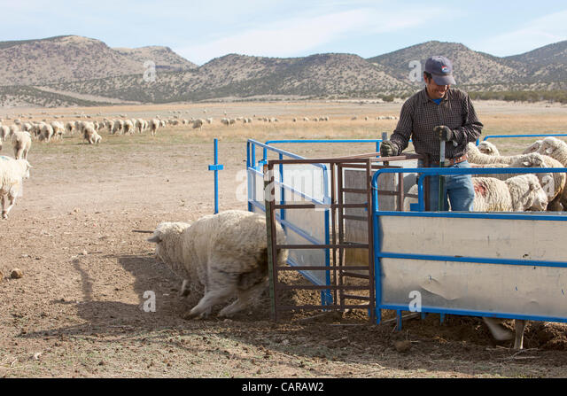 sheep springs men Basque sheepherding in the american west  most of the basque men who tended itinerant bands of sheep in the high desert considered their isolated life in.