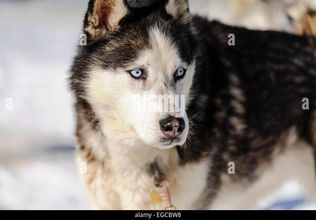 Blue Eyes Dog Stock Photos & Blue Eyes Dog Stock Images ...