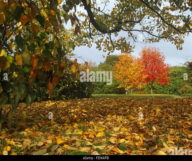 Liquidambar acalycina stock photos liquidambar acalycina for Garden trees kent