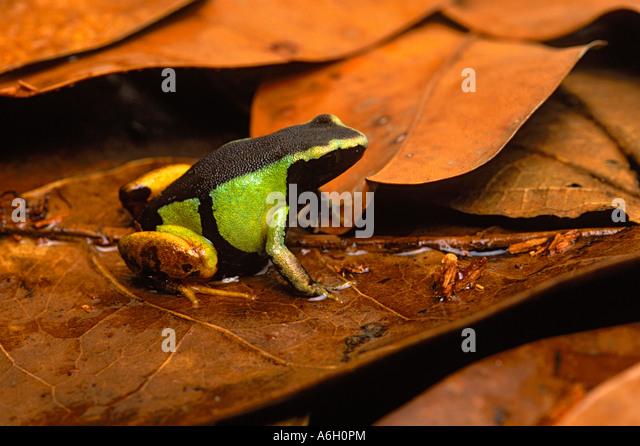 Painted Mantella Frog