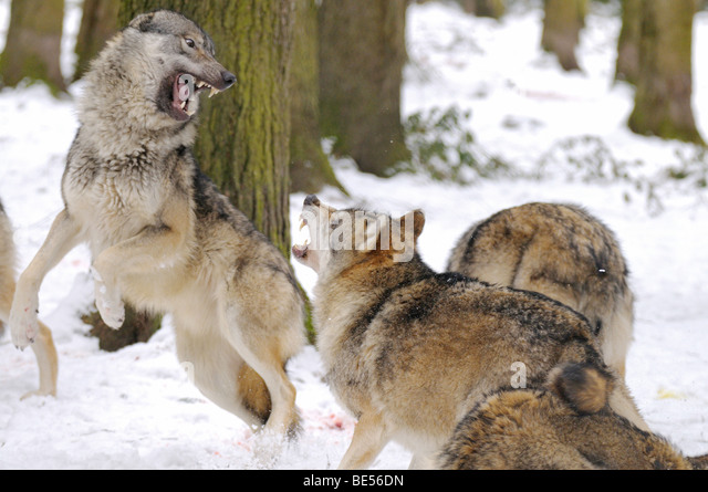 Gray Wolf Pack Stock Photos & Gray Wolf Pack Stock Images ...