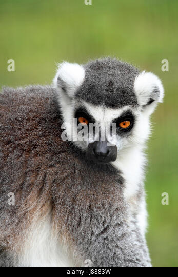 Ring-tailed Lemur at the Cape May County Zoo, Cape May Courthouse, New Jersey, USA - Stock Image