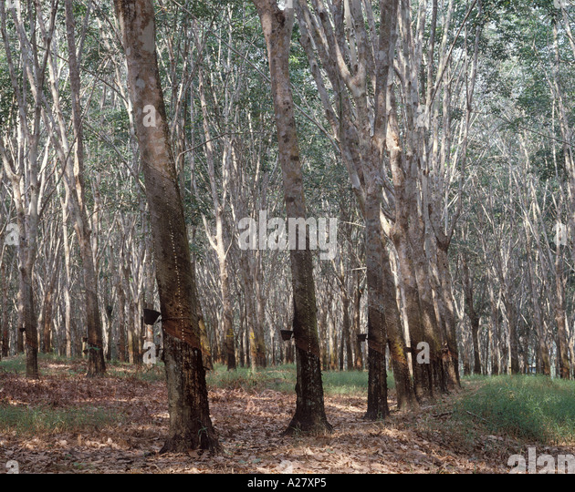 Rubber Plantation Malaysia Stock Photos Amp Rubber