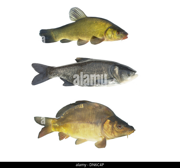 Cyprinids : Cyprinids Stock Photos & Cyprinids Stock Images - Alamy