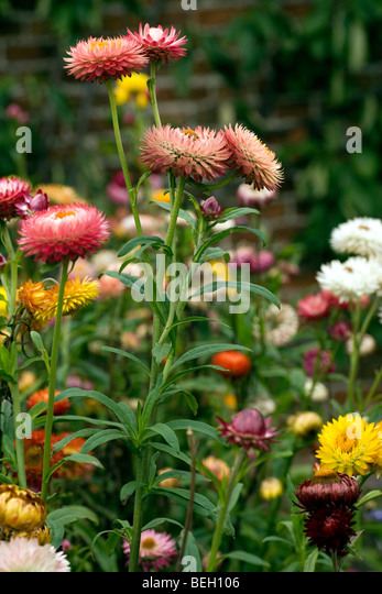 5 straw flowers are bright stock photos 5 straw flowers are bright also called straw flowers or everlasting flowers due to their popularity in dried mightylinksfo