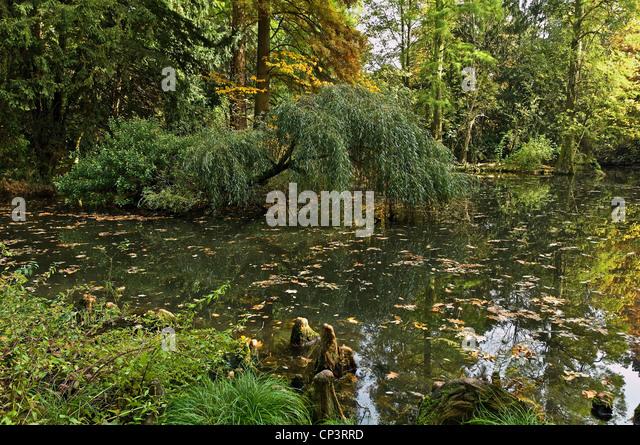 Salix Babylonica Autumn Tree Stock Photos & Salix
