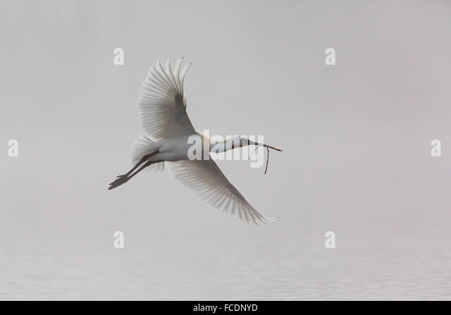 Bird flying twig in mouth stock photos bird flying twig in mouth stock images alamy - Blauwe kamer ...