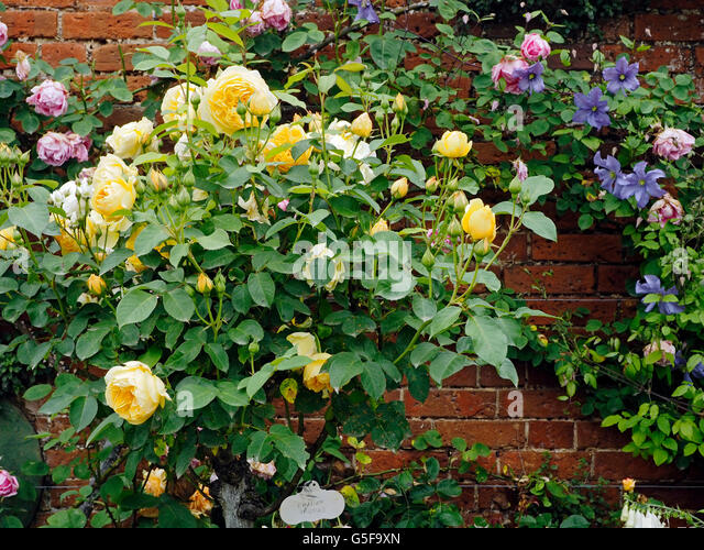 Graham thomas ausmas stock photos graham thomas ausmas stock shrub rose graham thomas grown as a standard in the border of a walled thecheapjerseys Images
