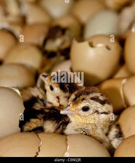 Aninimal Book: Baby Pheasants Stock Photos & Baby Pheasants Stock Images ...