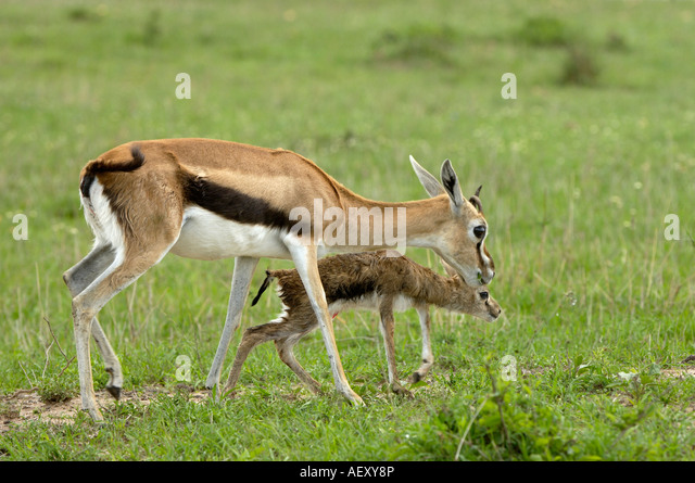 Baby Thomson's Gazelle Stock Photos & Baby Thomson's ...