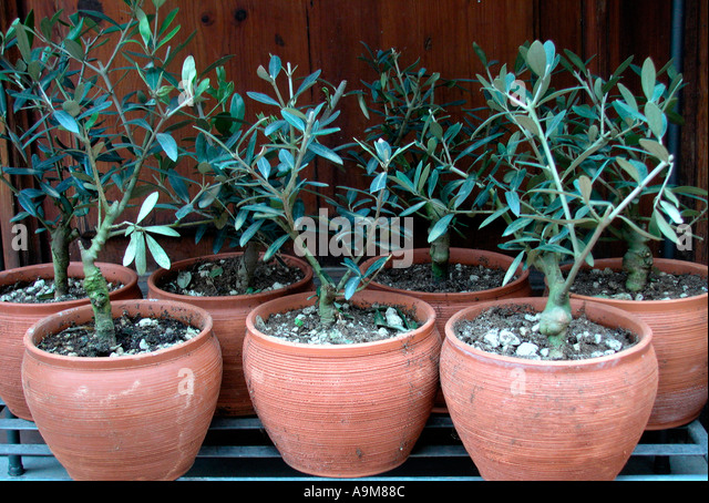 olive tree in pot stock photos olive tree in pot stock. Black Bedroom Furniture Sets. Home Design Ideas