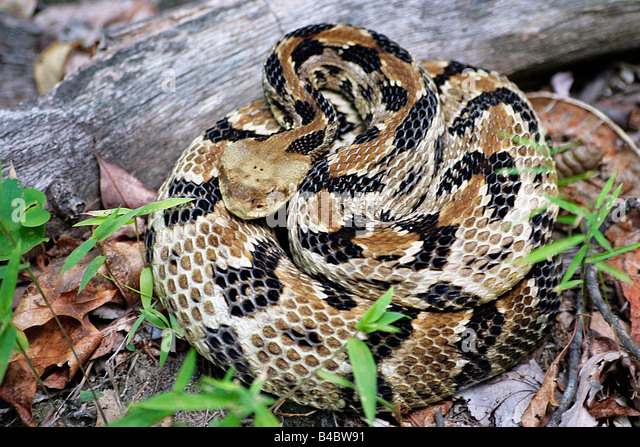 Timber Rattlesnake Stock Photos & Timber Rattlesnake Stock ...