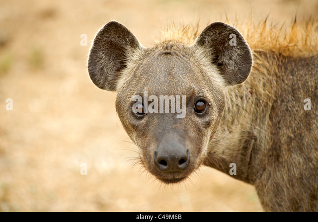 laughing hyena   Our Wild World