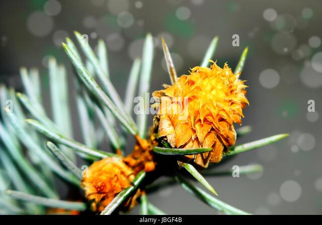 Beautiful seasonal moment - flowering of a pine tree. - Stock Image