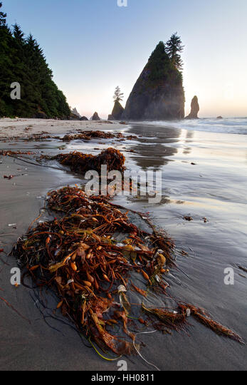 Giant kelp on beach