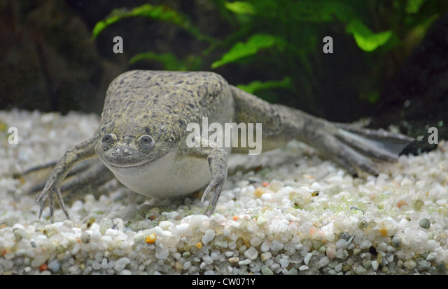 african clawed frog xenopus laevis albino captive western clawed frog ...
