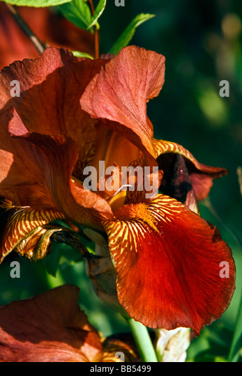 red iris flower iridaceae stock photos  red iris flower iridaceae, Natural flower