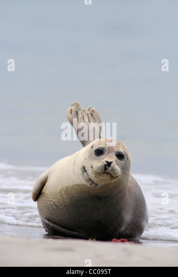 seal harbor latin singles The common seal, or harbor seal was a top 10 hit on the billboard singles chart seal released an abbreviation for the latin phrase locus sigilli.