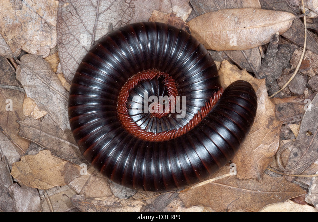 African Giant Millipede Stock Photos & African Giant ...