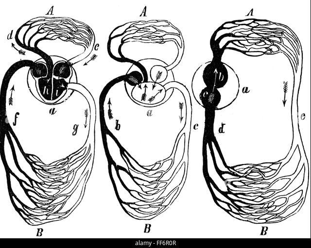 blood vessel diagram stock photos  u0026 blood vessel diagram