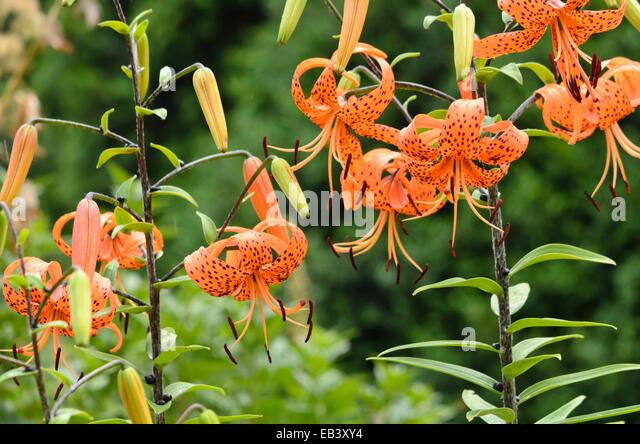 Lilium lancifolium Tiger Lily, Devil Lily PFAF Plant Database