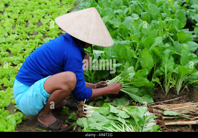 organic vegetables in hanoi Hanoi organic vegetables what is organic vegetables simply stated, organic vegetables and other ingredients are grown without the use of pesticides, synthetic fertilizers, sewage sludge.