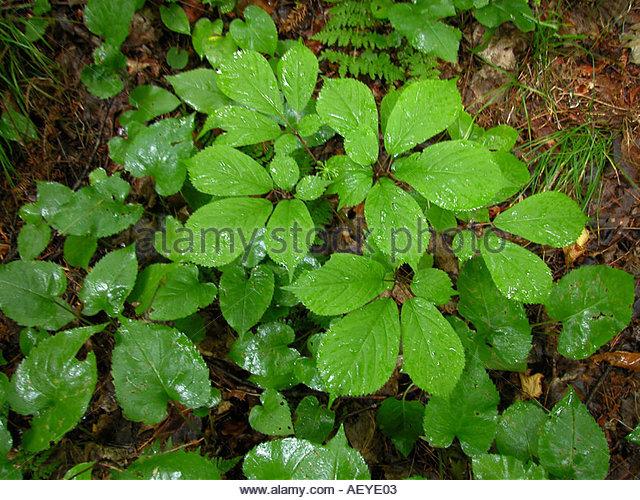 Ginseng plant
