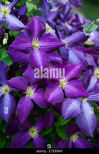 clematis jackmanii stock photos clematis jackmanii stock images alamy. Black Bedroom Furniture Sets. Home Design Ideas