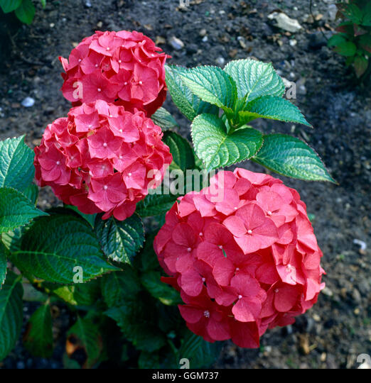 hydrangea macrophylla forever pink stock photos. Black Bedroom Furniture Sets. Home Design Ideas