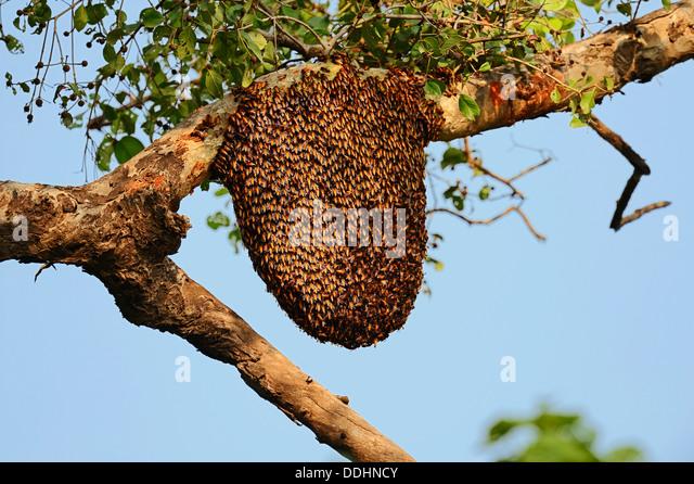 Honey bees nest in tree - photo#1