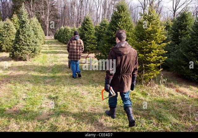 Buy Christmas Tree Cut Down Stock Photos & Buy Christmas Tree Cut ...