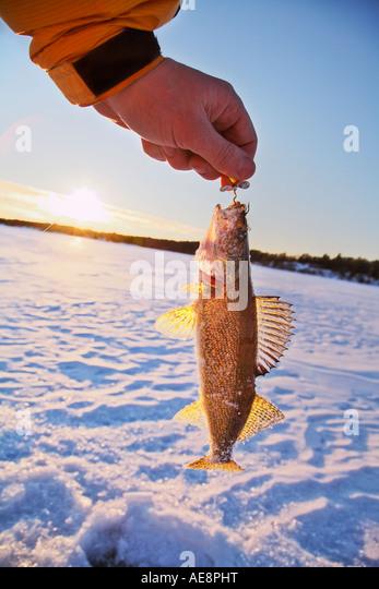 Pickerel Fish Stock Photos & Pickerel Fish Stock Images ...