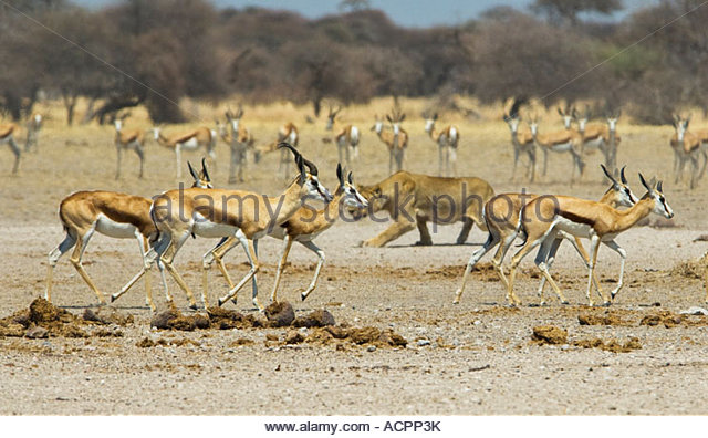 gazelle running from lion - photo #26