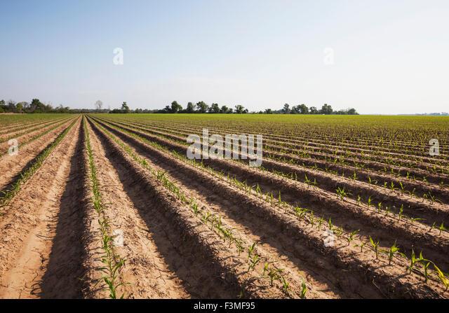 Arkansas barley fields