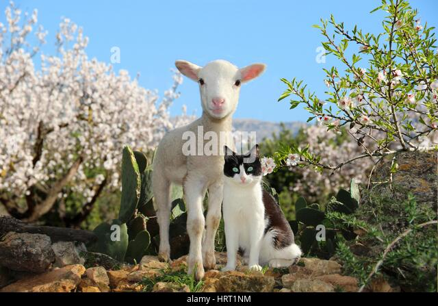 Image result for spring cat with sheep