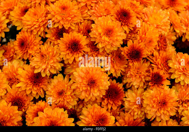 Orange Mums Stock Photos Orange Mums Stock Images Alamy