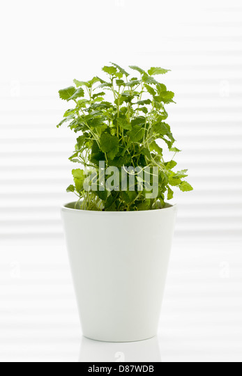 how to grow lemon balm in a pot