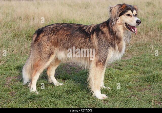 Siberian Husky Mixed Breed Stock Photos & Siberian Husky Mixed ...