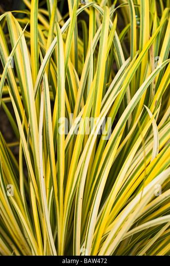 Grass ornamental acorus stock photos grass ornamental for Ornamental grass yellow
