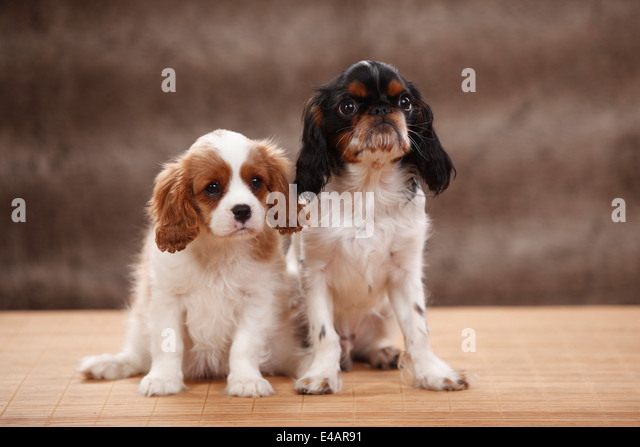 4 6 Year Male Cavalier King Charles Spaniel: King Charles Spaniel Male Tricolour Stock Photos & King