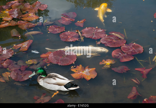 Ornamental carp stock photos ornamental carp stock for Ornamental pond