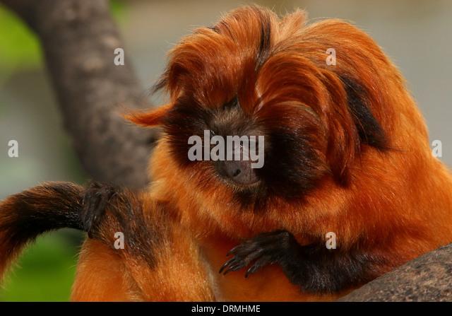 a description of golden marmosets also called leontopithecus chrysomelas The black-faced lion tamarin has a golden-coloured back that contrasts with the  black-faced lion tamarin (leontopithecus caissara)  (leontopithecus chrysomelas).
