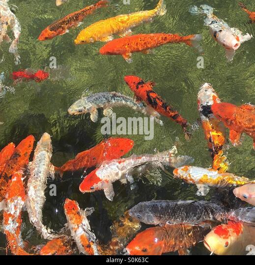 Yellow koi stock photos yellow koi stock images alamy for Ph for koi fish