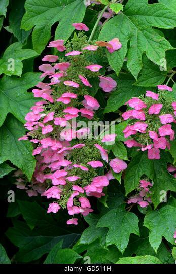 hydrangea quercifolia stock photos hydrangea quercifolia. Black Bedroom Furniture Sets. Home Design Ideas