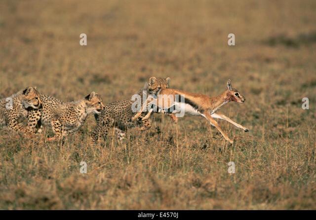 Cheetah Chasing Gazelle Stock Photos & Cheetah Chasing ...